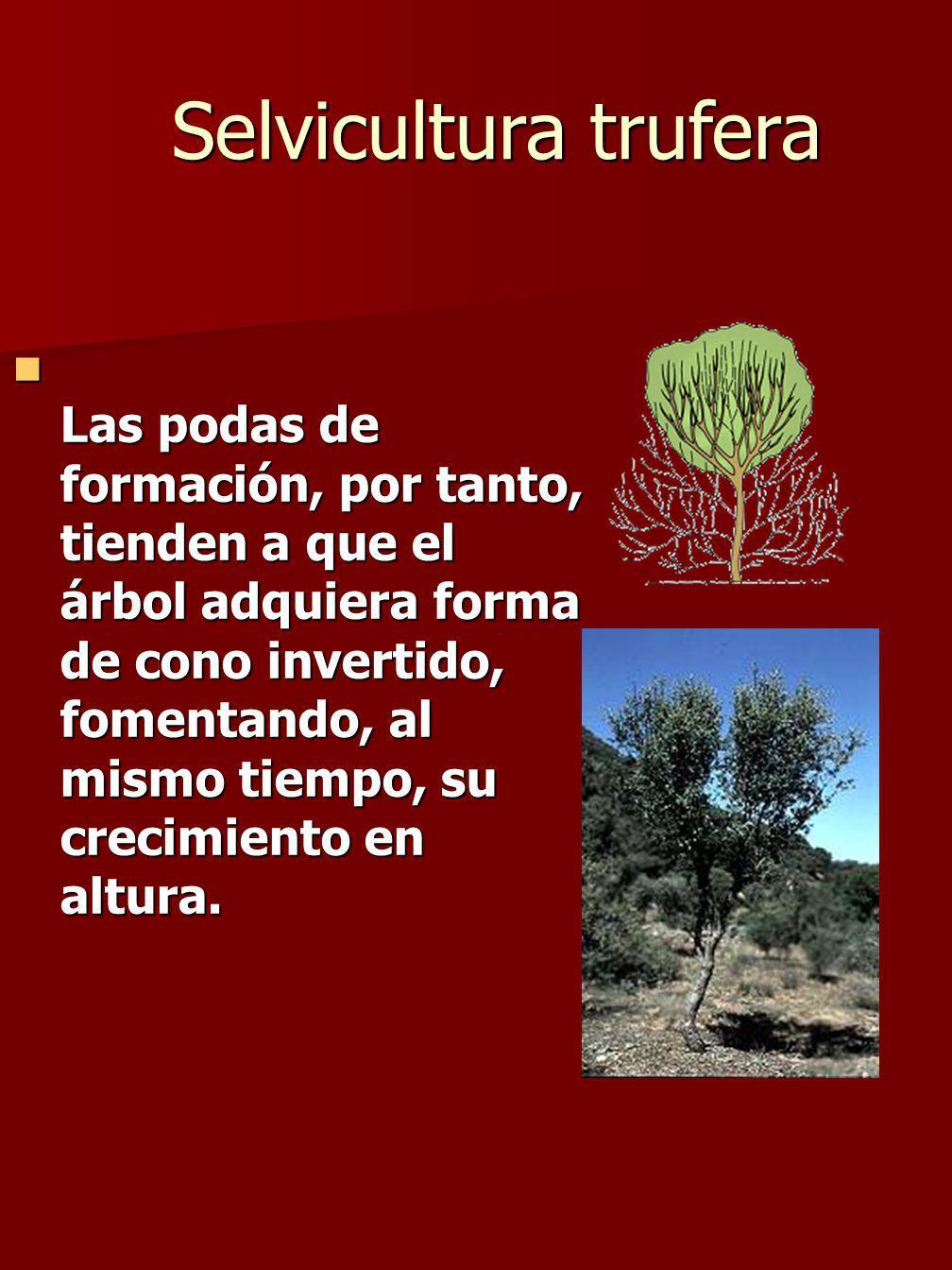 Las podas de formación, por tanto, tienden a que el árbol adquiera forma de cono invertido, fomentando, al mismo tiempo, su crecimiento en altura.