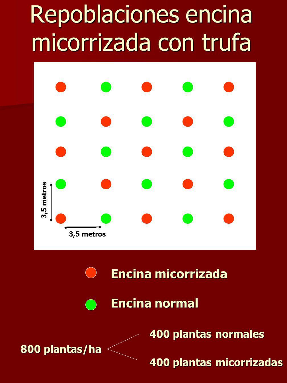 Repoblaciones encina micorrizada con trufa Encina micorrizada Encina normal 3,5 metros 800 plantas/ha 400 plantas normales 400 plantas micorrizadas