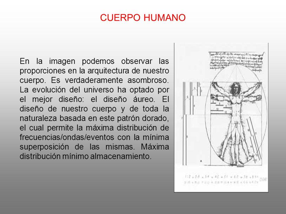 CUERPO HUMANO En la imagen podemos observar las proporciones en la arquitectura de nuestro cuerpo.