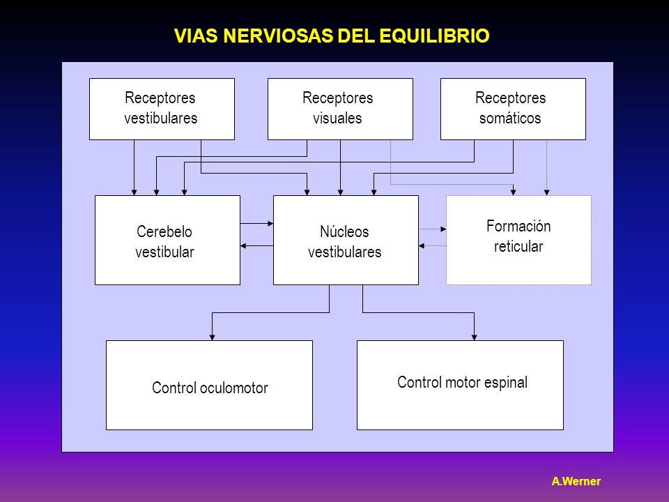 Receptores vestibulares Receptores visuales Receptores somáticos Cerebelo vestibular Núcleos vestibulares Formación reticular Control oculomotor Control motor espinal VIAS NERVIOSAS DEL EQUILIBRIO A.Werner
