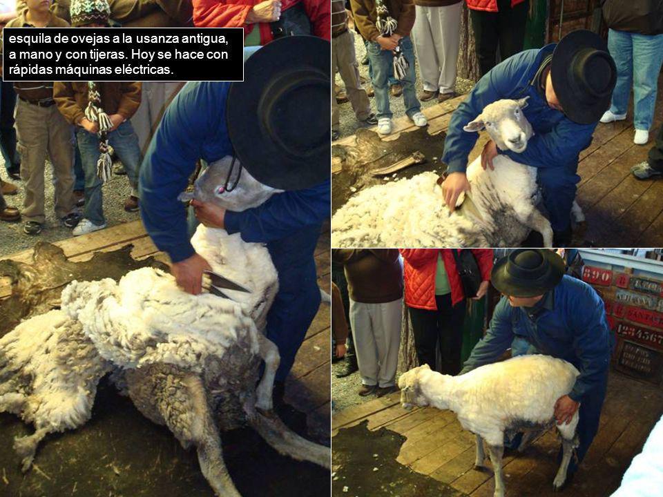 esquila de ovejas a la usanza antigua, a mano y con tijeras. Hoy se hace con rápidas máquinas eléctricas.