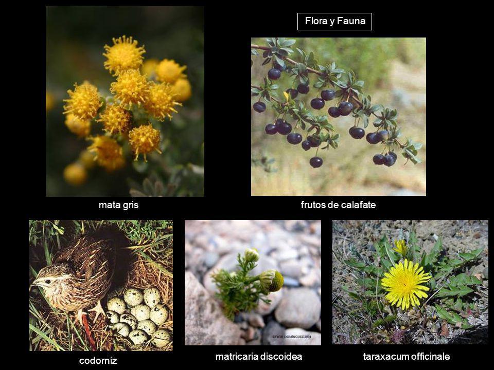 mata gris frutos de calafate matricaria discoidea codorniz taraxacum officinale Flora y Fauna
