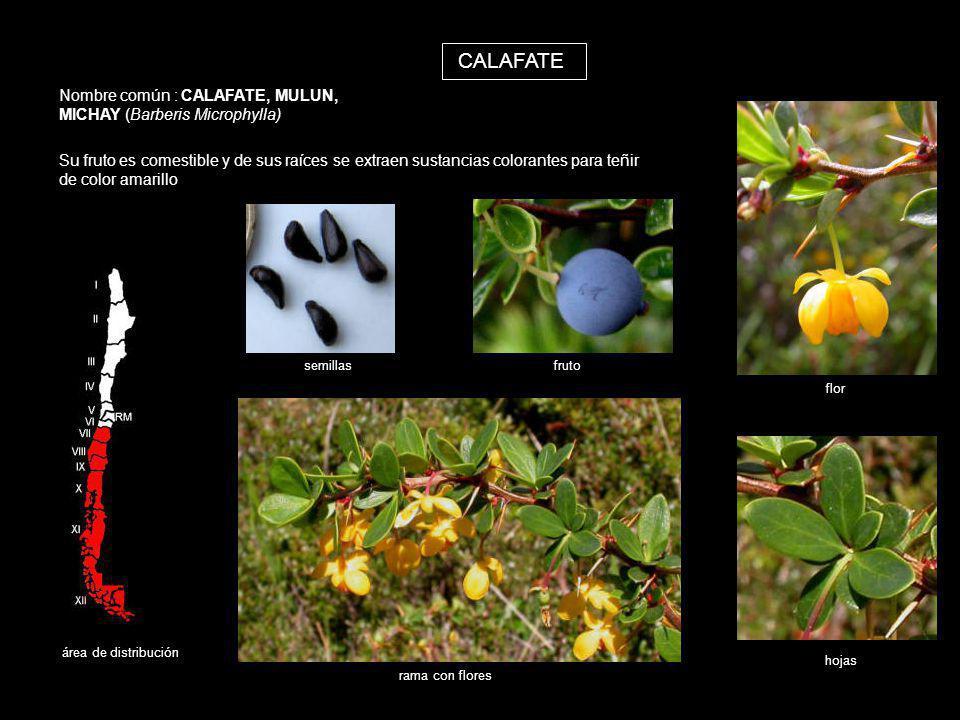 CALAFATE Nombre común : CALAFATE, MULUN, MICHAY (Barberis Microphylla) Su fruto es comestible y de sus raíces se extraen sustancias colorantes para te