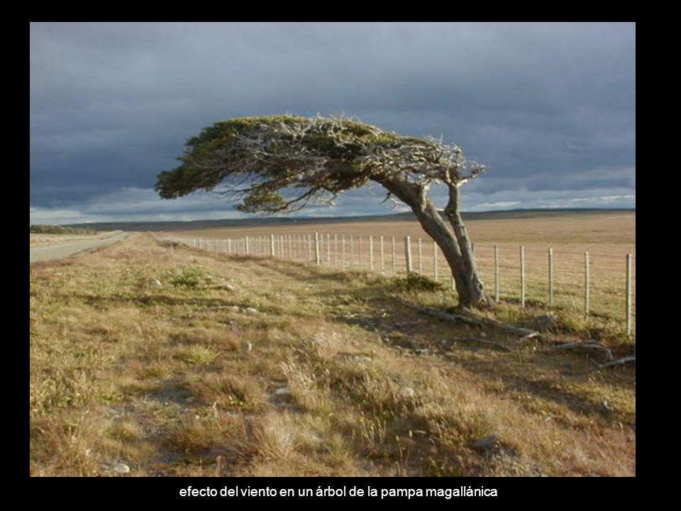 efecto del viento en un árbol de la pampa magallánica