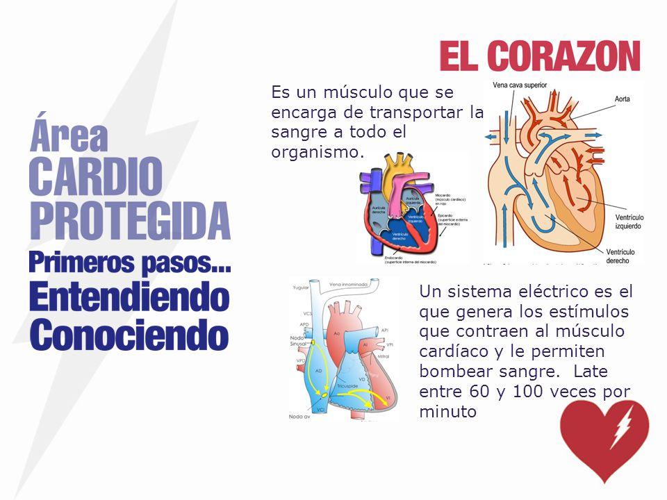 Un sistema eléctrico es el que genera los estímulos que contraen al músculo cardíaco y le permiten bombear sangre. Late entre 60 y 100 veces por minut