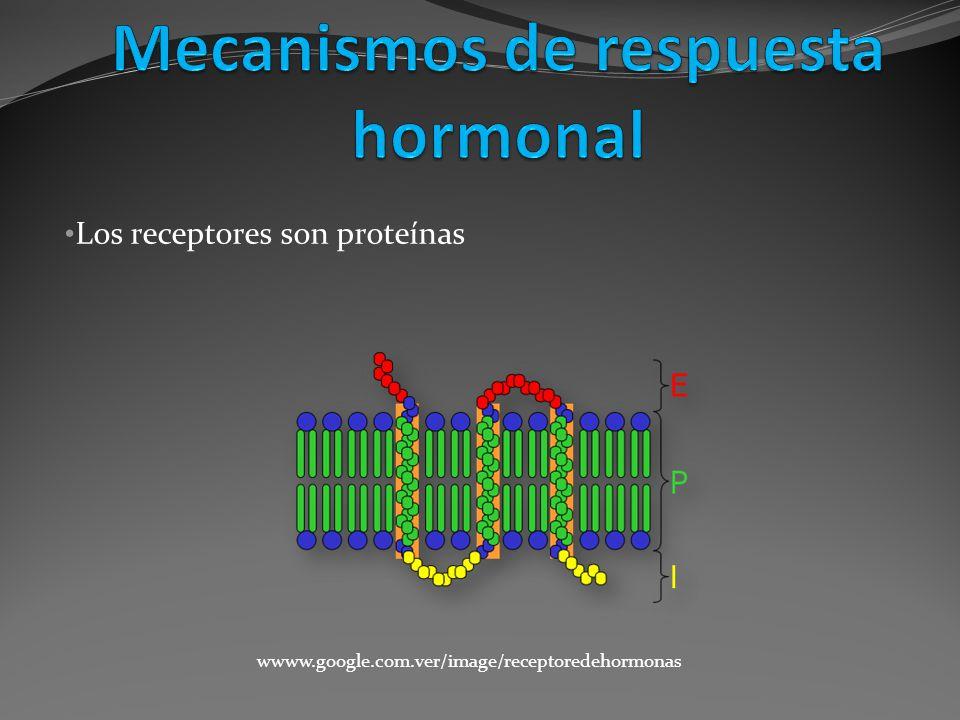 Los receptores son proteínas wwww.google.com.ver/image/receptoredehormonas