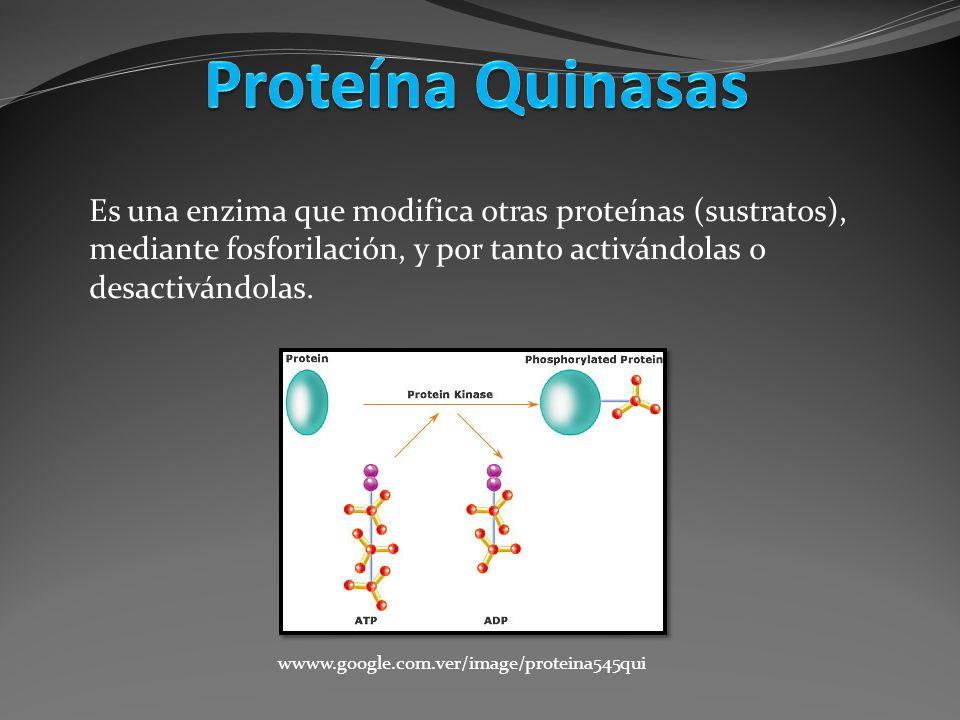 Es una enzima que modifica otras proteínas (sustratos), mediante fosforilación, y por tanto activándolas o desactivándolas. wwww.google.com.ver/image/