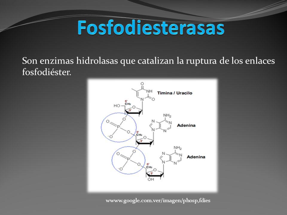 Son enzimas hidrolasas que catalizan la ruptura de los enlaces fosfodiéster. wwww.google.com.ver/imagen/phosp,fdies