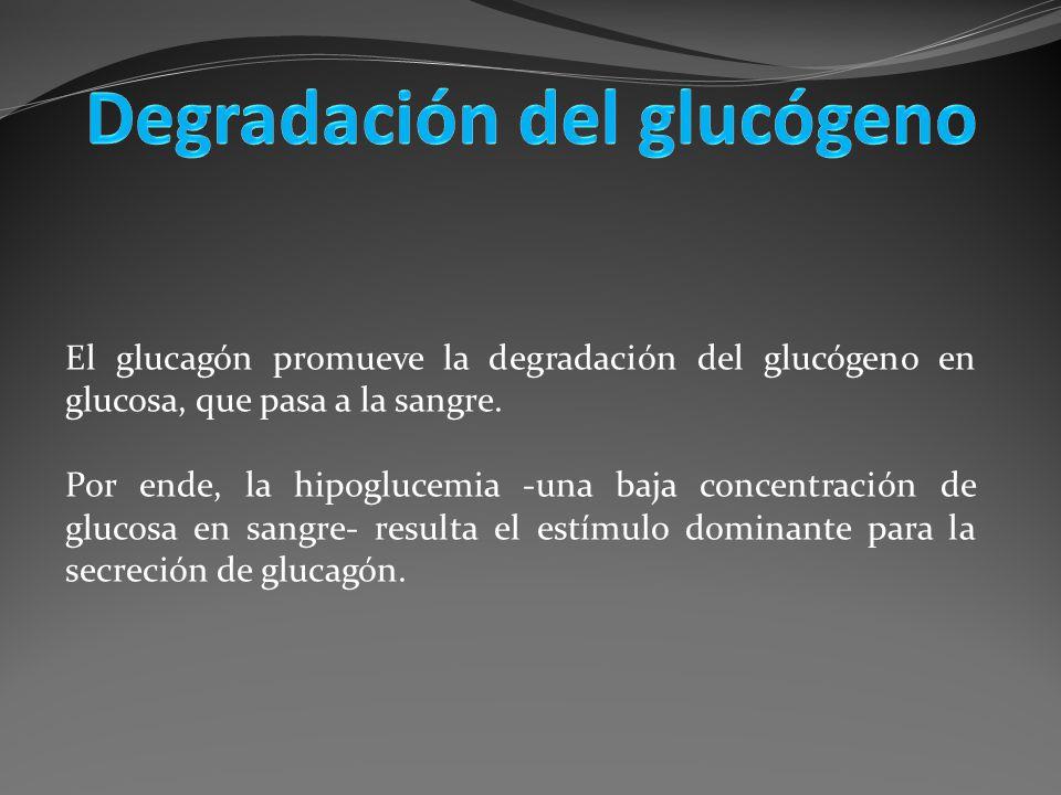 El glucagón promueve la degradación del glucógeno en glucosa, que pasa a la sangre. Por ende, la hipoglucemia -una baja concentración de glucosa en sa