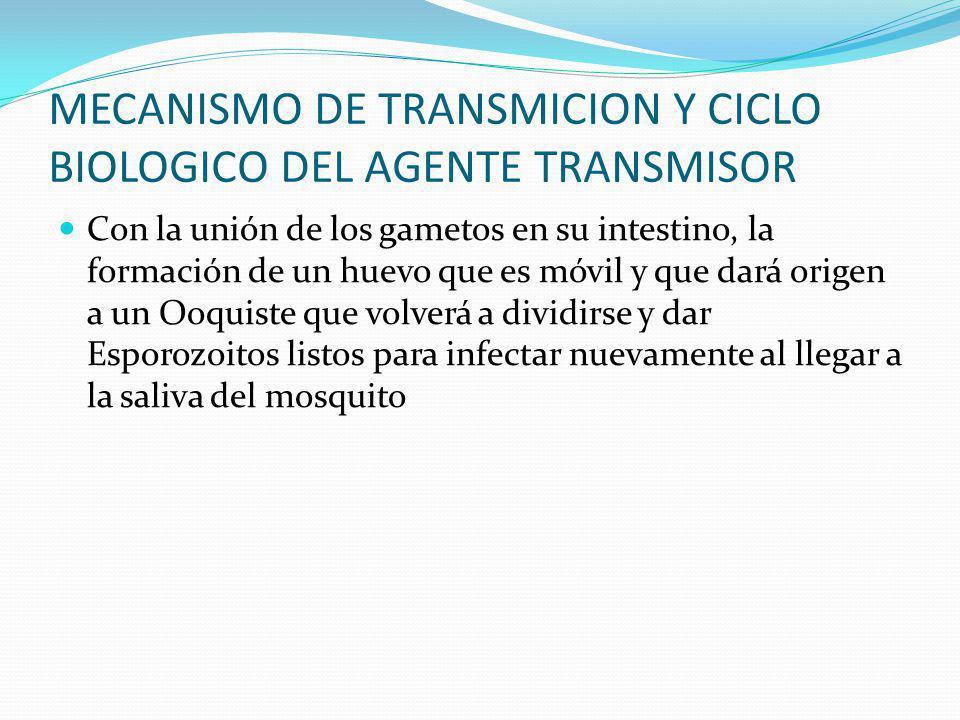 MECANISMO DE TRANSMICION Y CICLO BIOLOGICO DEL AGENTE TRANSMISOR Típicamente anulares (Trofozoitos), formas en división asexual múltiple (Merontes),fi