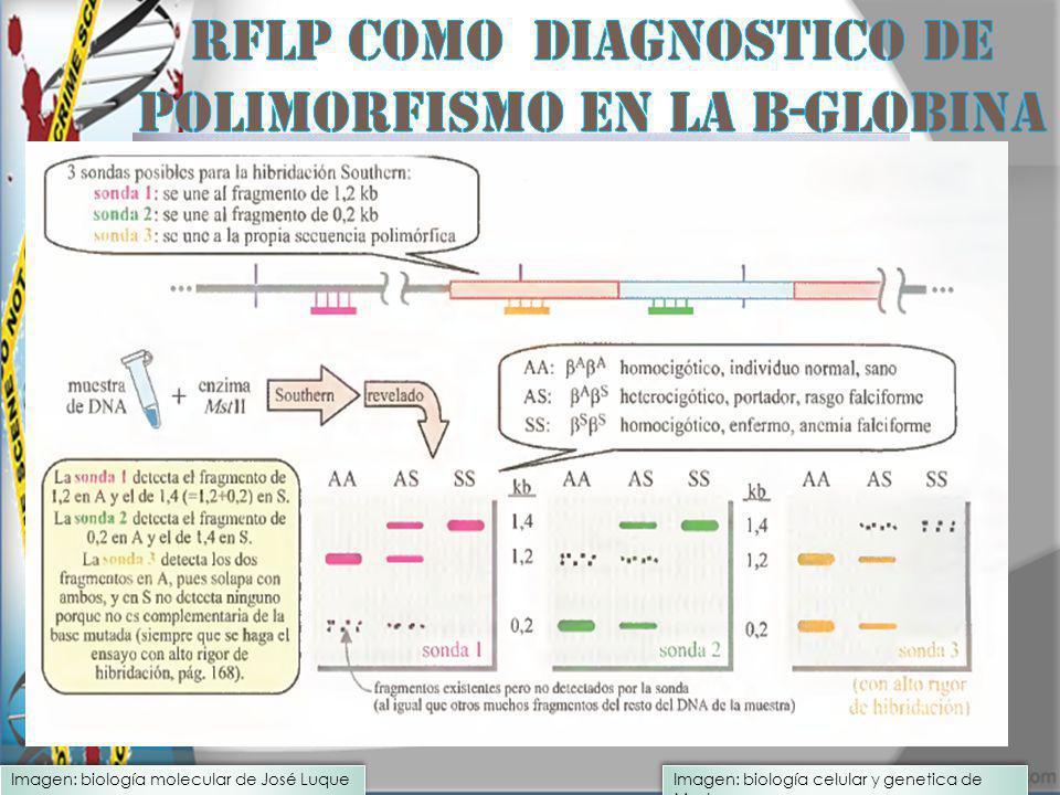 Imagen: biología celular y genetica de Mosby