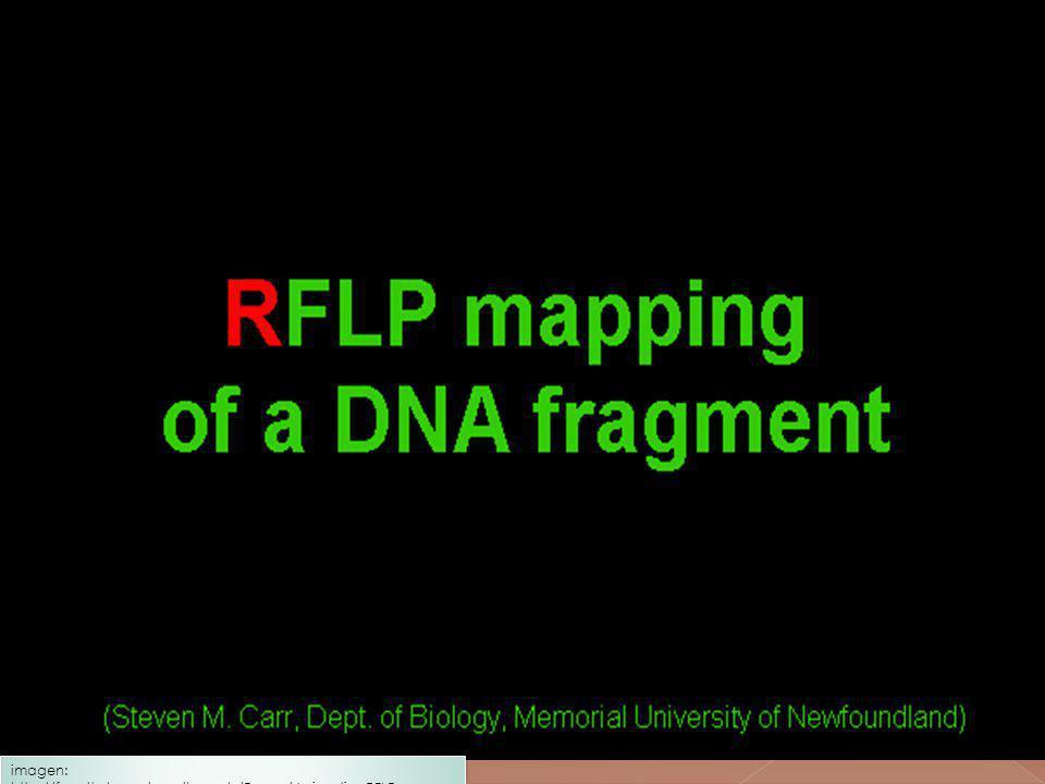 imagen: http://faculty.ksu.edu.sa/haseeb/Pages/AnimationRFLP.aspx