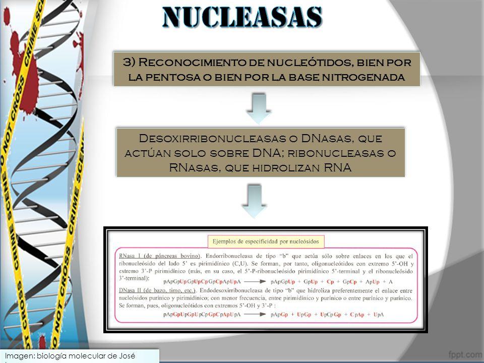 3) Reconocimiento de nucleótidos, bien por la pentosa o bien por la base nitrogenada Desoxirribonucleasas o DNasas, que actúan solo sobre DNA; ribonuc