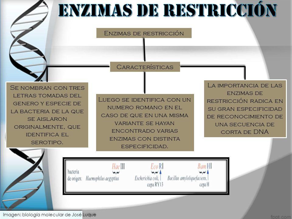 Enzimas de restricción Características Se nombran con tres letras tomadas del genero y especie de la bacteria de la que se aislaron originalmente, que