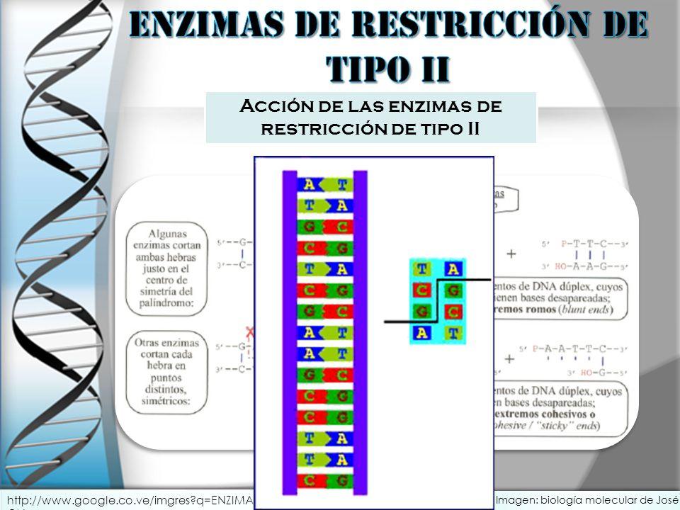 Acción de las enzimas de restricción de tipo II http://www.google.co.ve/imgres?q=ENZIMAS+DE+RESTRICCI%C3%93N+ANIMACI ON