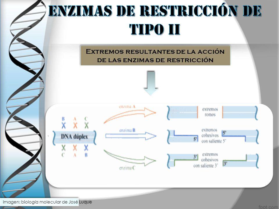 Extremos resultantes de la acción de las enzimas de restricción Imagen: biología molecular de José Luque