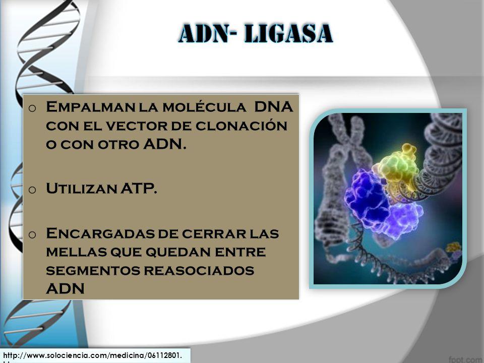 o Empalman la molécula DNA con el vector de clonación o con otro ADN. o Utilizan ATP. o Encargadas de cerrar las mellas que quedan entre segmentos rea