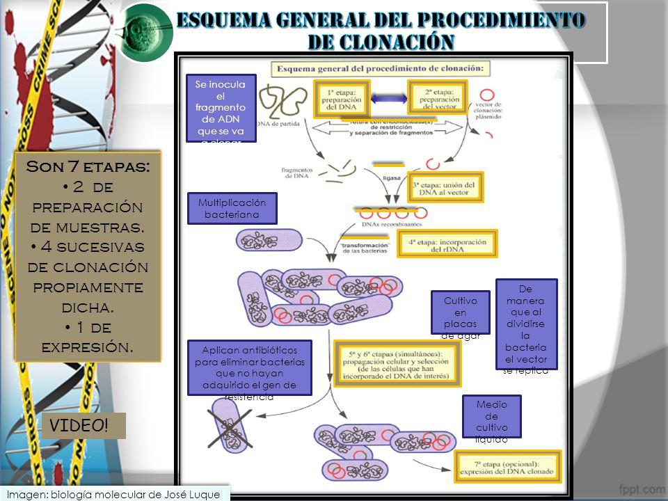 Son 7 etapas: 2 de preparación de muestras. 4 sucesivas de clonación propiamente dicha. 1 de expresión. Son 7 etapas: 2 de preparación de muestras. 4