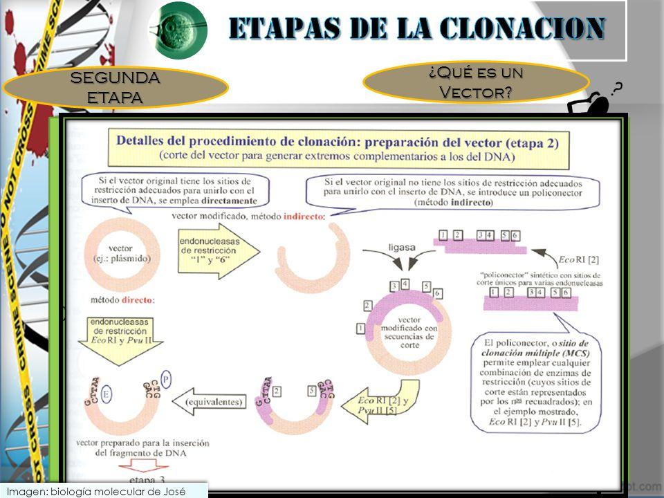 SEGUNDA ETAPA ¿Qué es un Vector? Molécula de ADN pequeño, fácil de aislar, con secuencia y mapa de restricción, de fácil inducción a la célula anfitri