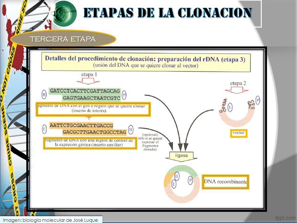 TERCERA ETAPA Imagen: biología molecular de José Luque