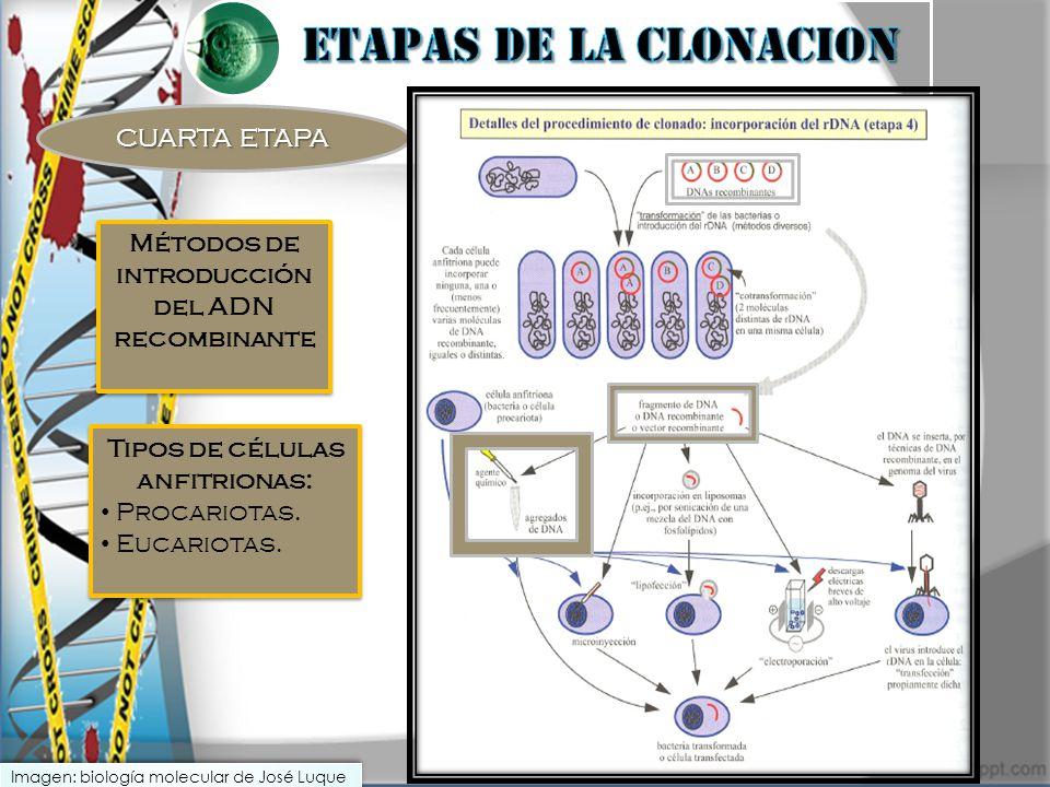 CUARTA ETAPA Tipos de células anfitrionas: Procariotas. Eucariotas. Tipos de células anfitrionas: Procariotas. Eucariotas. Métodos de introducción del