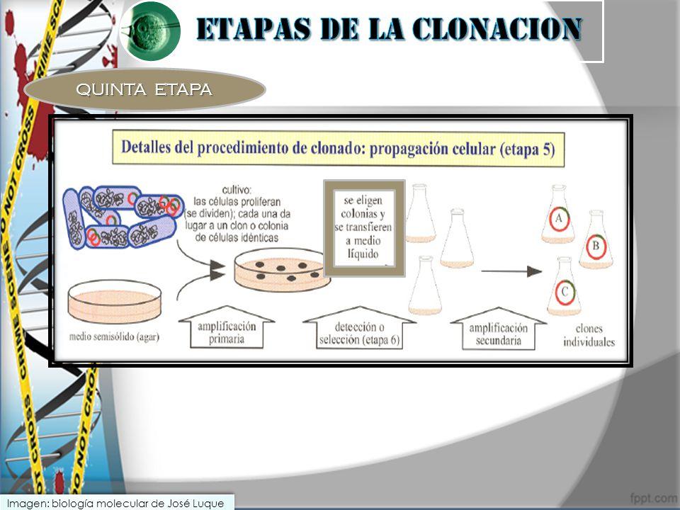 QUINTA ETAPA Imagen: biología molecular de José Luque