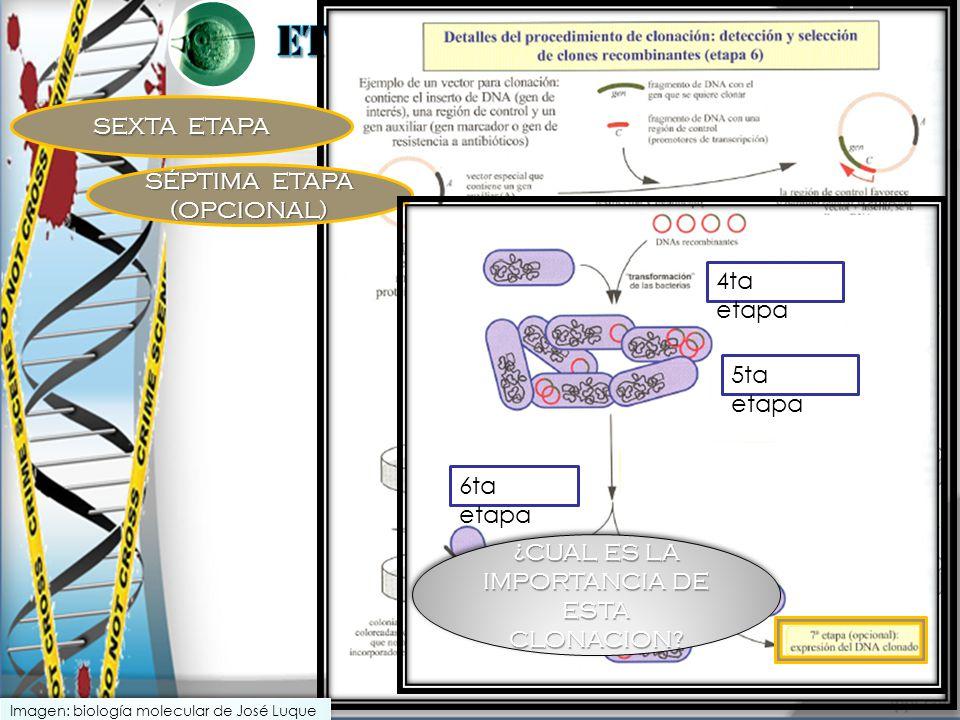 SEXTA ETAPA SÉPTIMA ETAPA (OPCIONAL) 4ta etapa 5ta etapa 6ta etapa ¿CUAL ES LA IMPORTANCIA DE ESTA CLONACION? Imagen: biología molecular de José Luque
