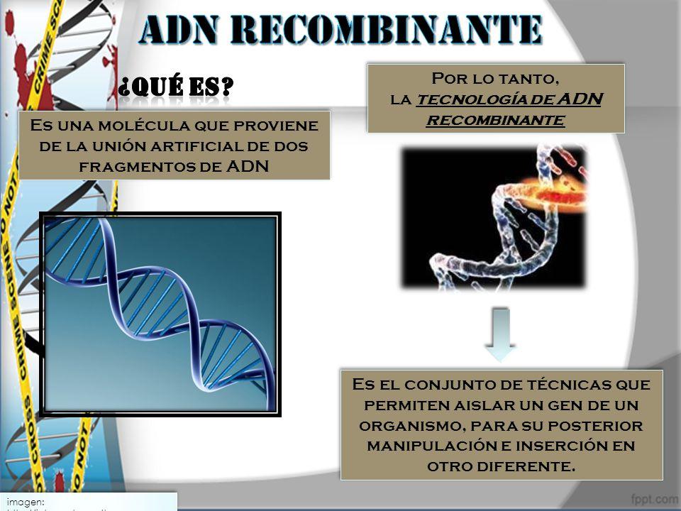 imagen: http://intercentres.cult.gva.es Es una molécula que proviene de la unión artificial de dos fragmentos de ADN Por lo tanto, la tecnología de AD