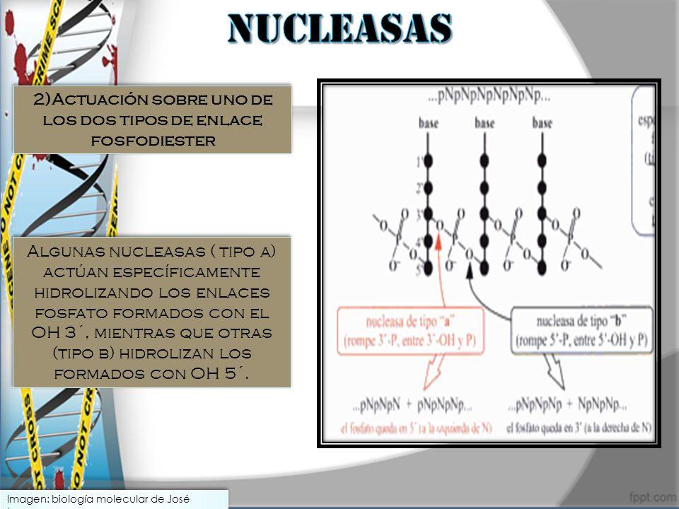 2)Actuación sobre uno de los dos tipos de enlace fosfodiester Algunas nucleasas ( tipo a) actúan específicamente hidrolizando los enlaces fosfato form