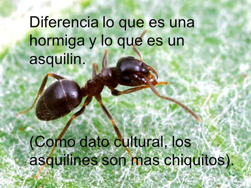 Diferencia lo que es una hormiga y lo que es un asquilin. (Como dato cultural, los asquilines son mas chiquitos).