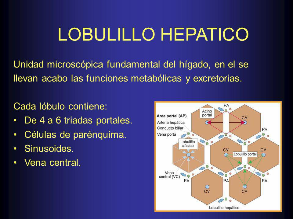 LOBULILLO HEPATICO Unidad microscópica fundamental del hígado, en el se llevan acabo las funciones metabólicas y excretorias.