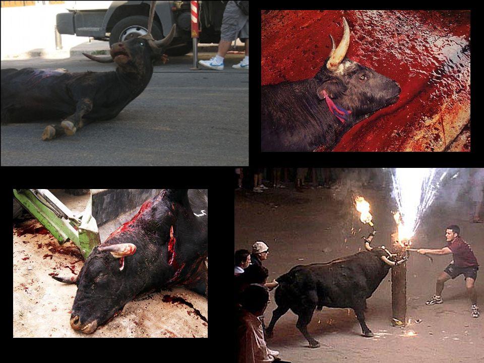 … En muchos pueblos de España como Tordesillas, Medinaceli, Coria, Amposta, Denia, Benavente o Algemesí la barbarie campa a sus anchas año tras año en festejos populares…