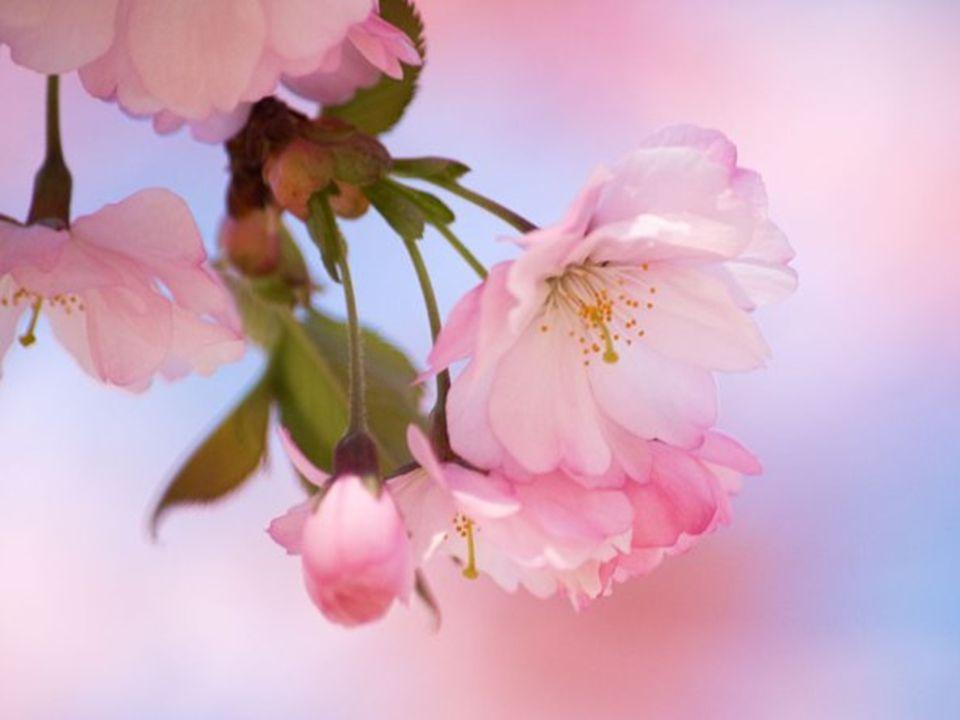 Las flores del cerezo suelen caer muy pronto. La flor del sakura es delicada y con el viento enseguida cae. Así, se puede disfrutar de su belleza y al
