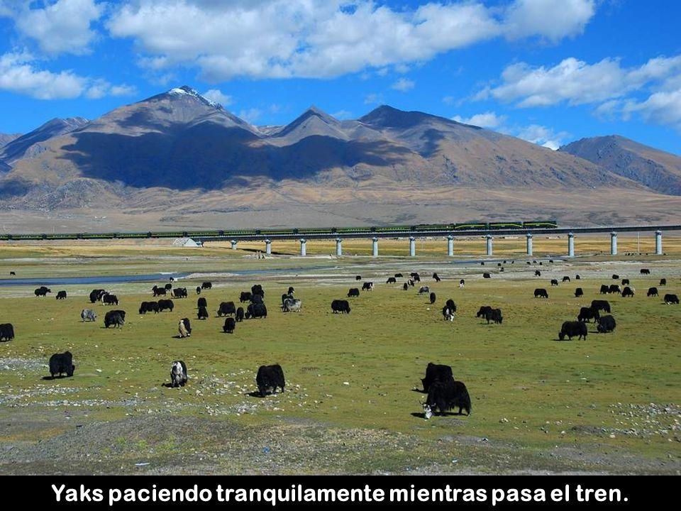 Los osos y los asnos salvajes se han adaptado también con éxito a la presencia de la línea de ferrocarril.