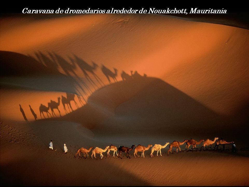 Caravana de dromedarios alrededor de Nouakchott, Mauritania