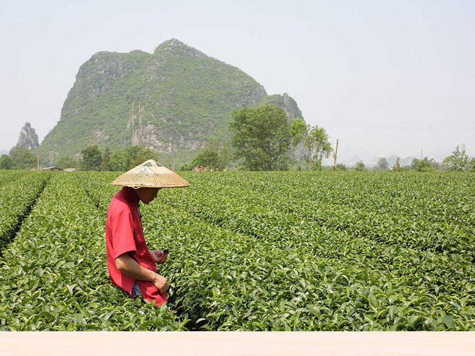 Plantación de te tradicional El te es una bebida originaria de china y se cultiva en la parte sur, Especialmente en la cuenca del río Yangzte