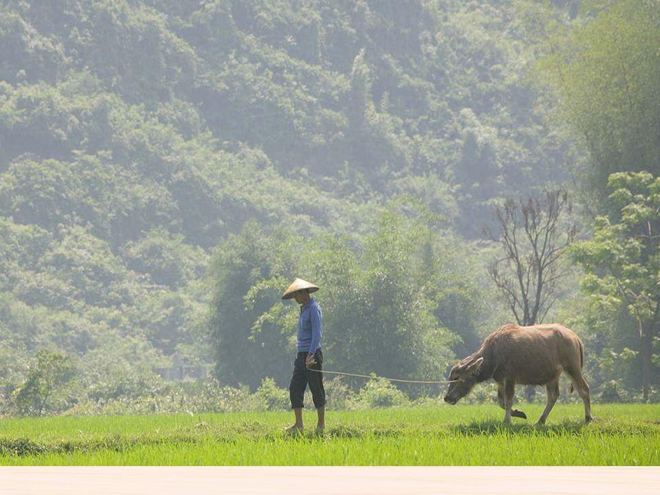 Campos de arroz Ya desde el 5.000 antes de Cristo se cultivaba el arroz en la cuenca del río yangzte, al principio era un complemento esporádico de la