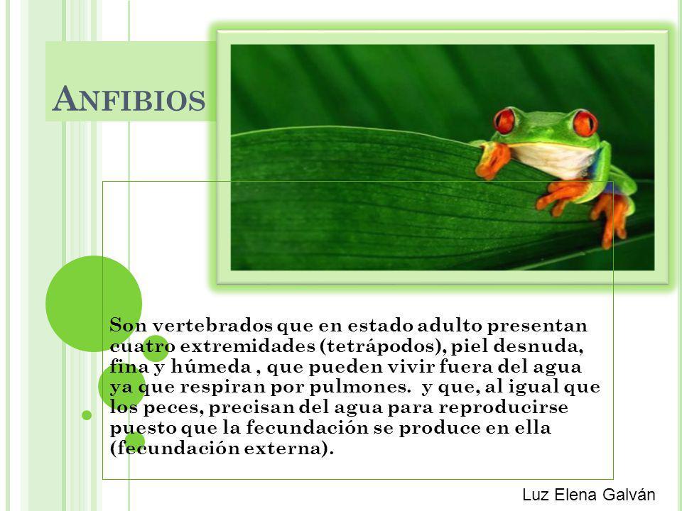 A NFIBIOS Son vertebrados que en estado adulto presentan cuatro extremidades (tetrápodos), piel desnuda, fina y húmeda, que pueden vivir fuera del agua ya que respiran por pulmones.