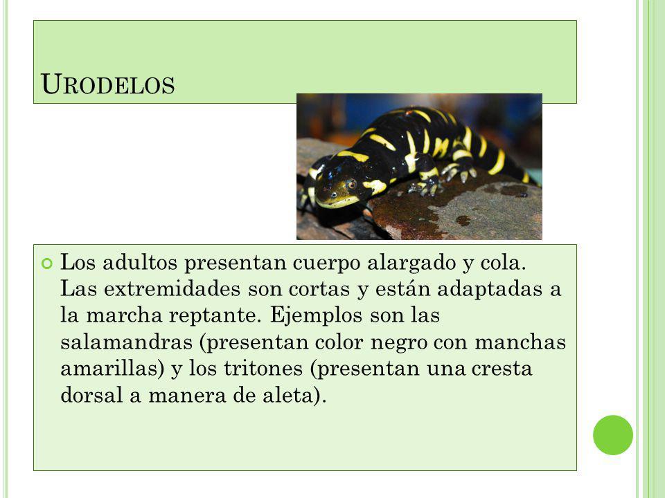 CECILIAS APODOS (ORDEN APODA) Los apodos (Apoda=sin patas), son formas cavadoras vermiformes (parecen lombrices o gusanos), se conocen unas 100 especi