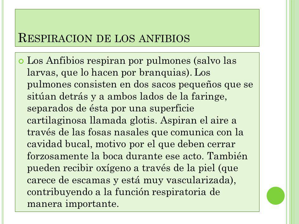 ANATOMIA COMPARACION Los Anfibios presentan dos formas básicas en su anatomía externa: la de tritones, salamandras y gallipatos, con cuerpo alargado y
