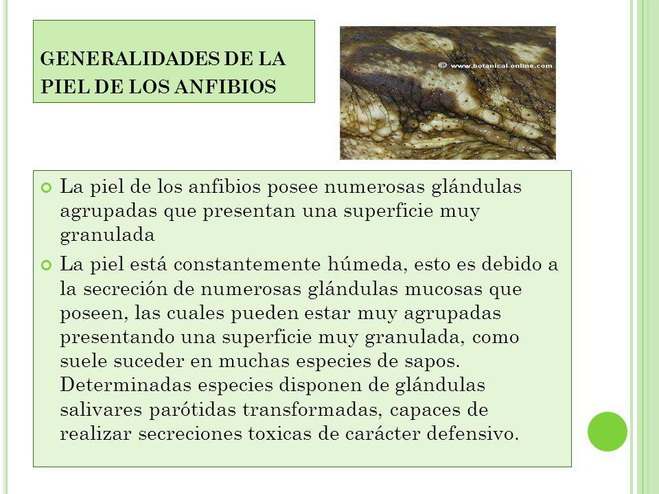 R ESPIRACION DE LOS ANFIBIOS Los Anfibios respiran por pulmones (salvo las larvas, que lo hacen por branquias). Los pulmones consisten en dos sacos pe
