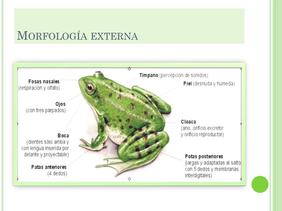 M ORFOLOGÍA EXTERNA El cuerpo de algunos anfibios como las ranas y los sapos sólo presentan dos partes (cabeza y tronco ) y el de otros, como las sala