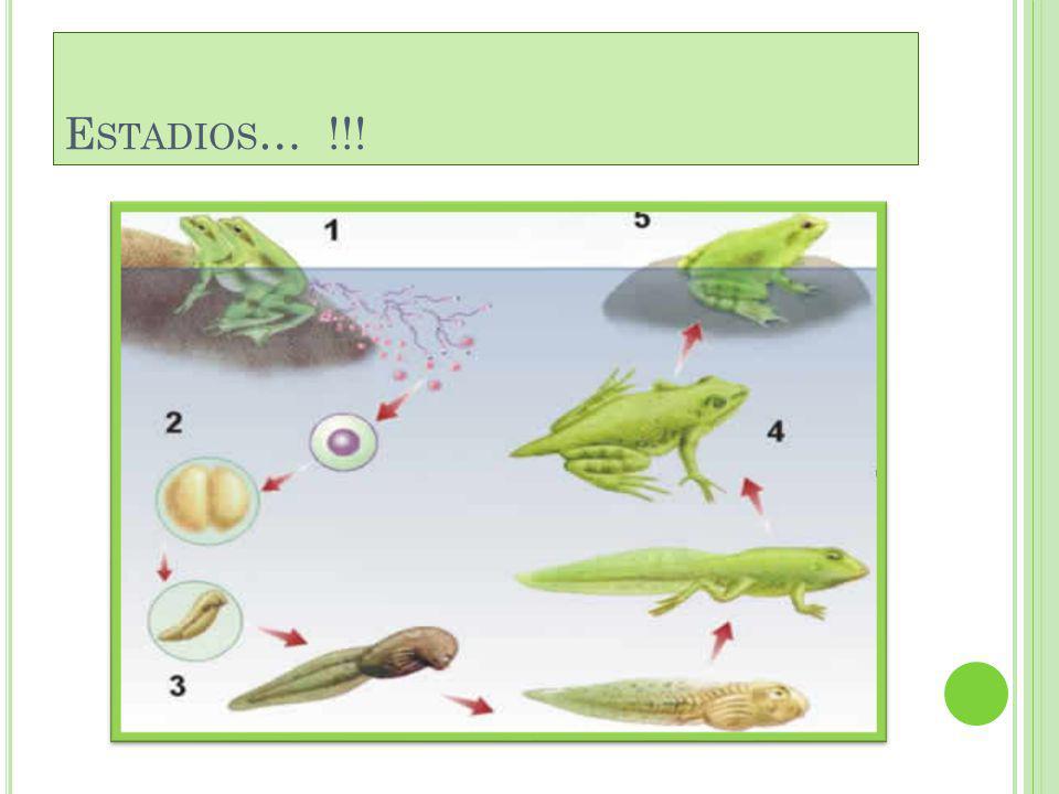 R EPRODUCCIÓN Reproducción. La fecundación es externa (1). Los óvulos fecundados se depositan en el agua y son fijados con sustancias mucosas (2). Se