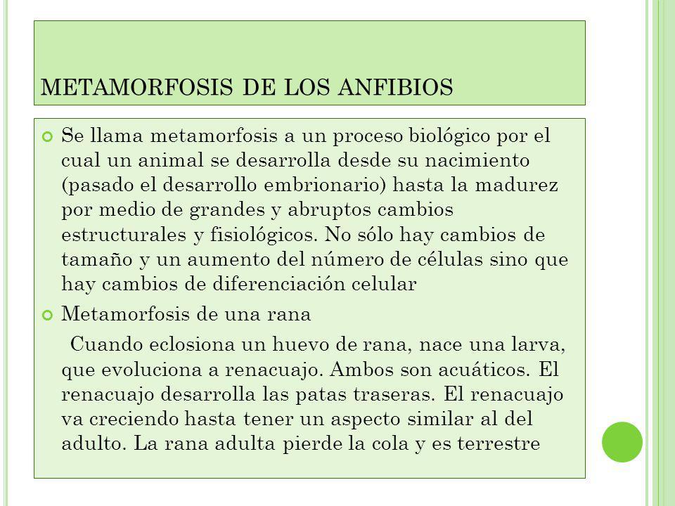 METAMORFOSIS DE LOS ANFIBIOS Se llama metamorfosis a un proceso biológico por el cual un animal se desarrolla desde su nacimiento (pasado el desarrollo embrionario) hasta la madurez por medio de grandes y abruptos cambios estructurales y fisiológicos.