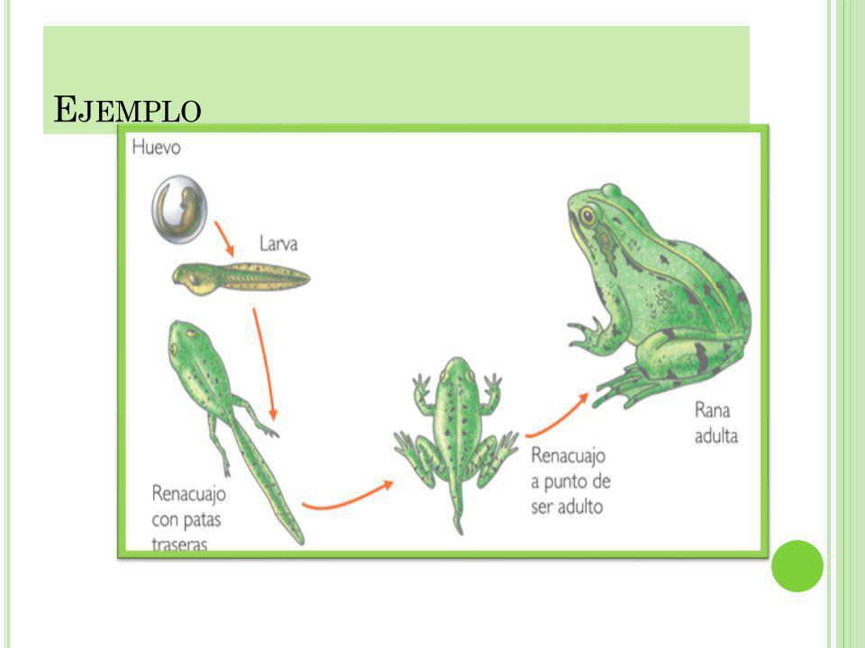 METAMORFOSIS DE LOS ANFIBIOS Se llama metamorfosis a un proceso biológico por el cual un animal se desarrolla desde su nacimiento (pasado el desarroll