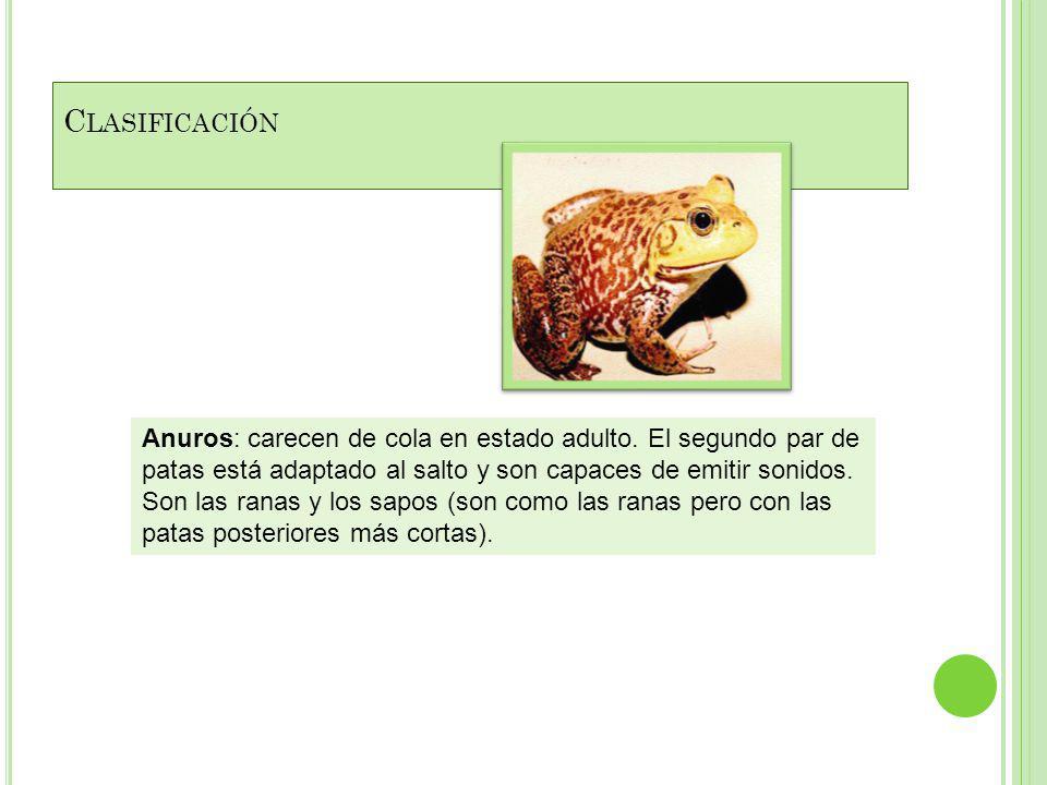 C LASIFICACIÓN Anuros: carecen de cola en estado adulto.
