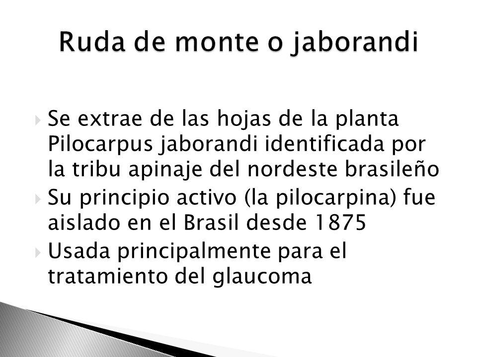 Se extrae de las hojas de la planta Pilocarpus jaborandi identificada por la tribu apinaje del nordeste brasileño Su principio activo (la pilocarpina)