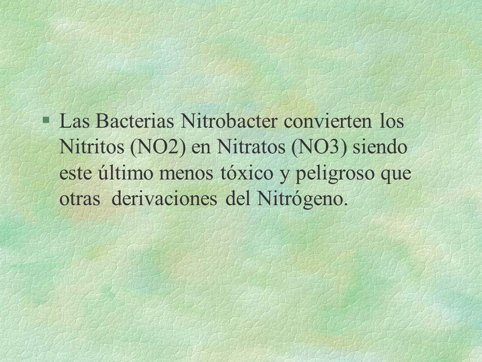 IMPORTANCIA SANITARIA §Intervienen en el ciclo del nitrógeno siendo beneficiosos para los vegetales §industrialmente son importantes en la depuración