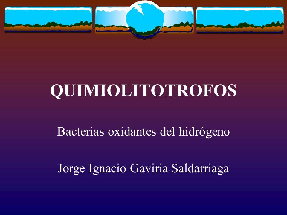 QUIMIOLITOTROFOS Bacterias oxidantes del hidrógeno Jorge Ignacio Gaviria Saldarriaga