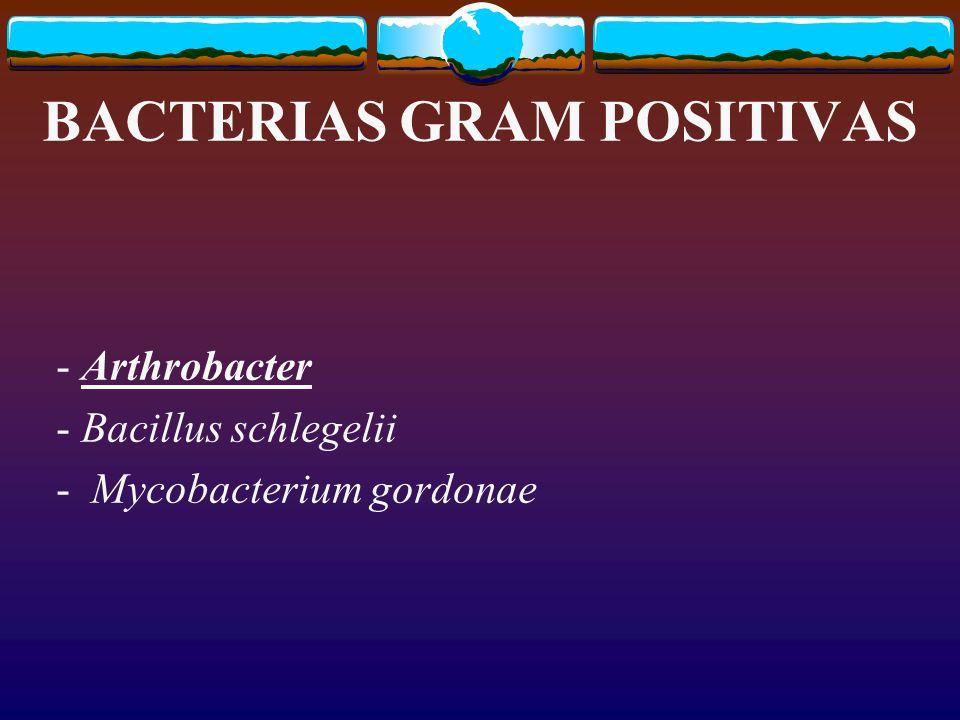 BACTERIAS GRAM POSITIVAS - Arthrobacter - Bacillus schlegelii - Mycobacterium gordonae